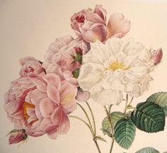 Redouté 'Damascene Rose' Botanical Illustration - Pink White Flowers - Belgian Artist - Vintage Floral Art Reprint - June Wedding Birthday