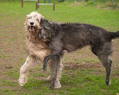 Irish Wolfhound dog.