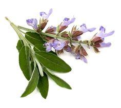 Vida Saudável Biovip: Salva - Salvia officinalis