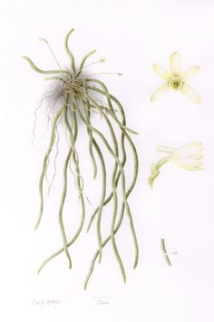 Cheryl Hodges' illustration of the rediscovered orchid.