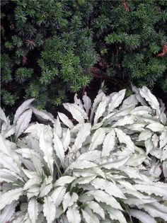 Silberlaubige Pflanzen -garten-topfpflanze-Silbriges-Lungenkraut-unterbepflanzung