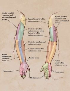Nervesystem, Upper limb peripheral nerve distribution