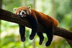 Here's a treat for all you who love cute little animals. 33 hi res photos of red pandas, these little critters are so adorable you just want to cuddle Animals And Pets, Funny Animals, Cute Animals, Animals Kissing, Sleepy Animals, Strange Animals, Funny Dogs, Panda Background, Panda Facts