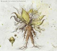 Risultati immagini per mandrake plant