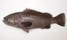 Epinephelus latifasciatus - Laterally-banded Grouper