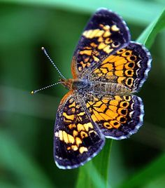 A pearl crescent butterfly was spotted during an Exploring the World of Butterflies program at Broadmoor Wildlife Sanctuary in South Natick.