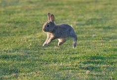 Bunny in mid air.