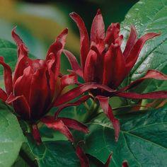 California Allspice (Calycanthus Floridius)