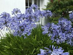 Blue Agapanthus or lilies of the Nile.  egyptian.