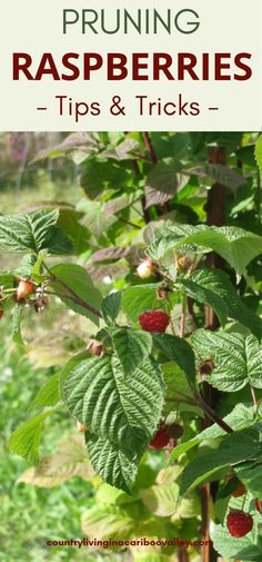 Buy Flowers Online Same Day Delivery How To Grow And Prune Raspberries. Raspberry Patches Grow Great In Backyards. All The Tips You Need To Grow Great Raspberry Harvests. Raspberry Bush, Raspberry Plants, Blackberry, Pruning Raspberries, How To Grow Raspberries, Blueberries, Fall Clean Up, Organic Gardening Tips, Urban Gardening