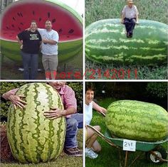 [Visit to Buy] 30 seed/bag giant watermelon seeds,it is so big! rare Organic Heirloom vegetable fruit seeds,Natural growth home garden planting #Advertisement
