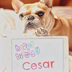 'Happy Birthday Cesar', French Bulldog