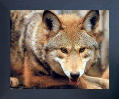 Transform your habitat from boring dull walls into wow in the blink of an eye by hanging this red wolf art print framed poster. This framed art will be a great addition to your home and bring wildlife nature charm into your place. It is a perfect gift to any truck lover. Its wooden espresso frame accentuates the poster mild tone.