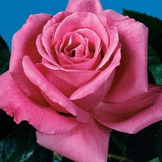 Heirloom  Lovely hybrid tea rose notable for its rich lilac color and powerful fragrance.  Pointed, ovoid, deep magenta buds unfurl and lighten to a soft lilac,. Fragrance hits of sweet wine and raspberries. 33601.jpg