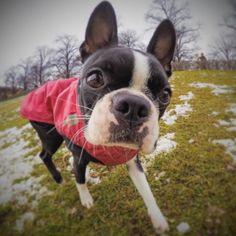 HELLO  #dottiethebostie #bostonterrier #instadog #doglover #dog #dogsofinstagram #munichdogs