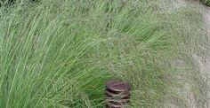 Eragrostis curvula op vasteplant.be