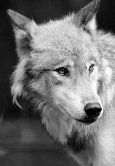 взгляд волка - Поиск в Google