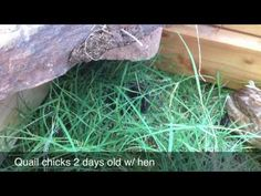 Button quail hen and 6 chicks