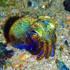 Shimmering Bobtail Squid