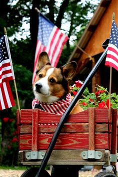 God Bless America! Corgi in a red Wagon.