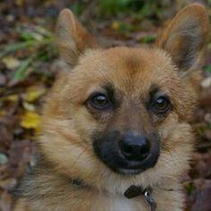 chien spitz nain on pinterest dog breeds german spitz