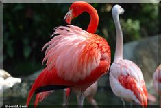 Image result for flamingo wingspan