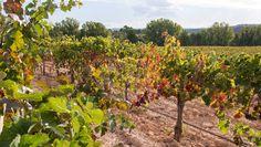 Viñedos Bodega Vegalfaro. El Derramador, Requena. #rutadelvinoutielrequena #enoturismo #vino Vineyard, Fruit, Outdoor, Wine, Wine Cellars, Paths, Outdoors, Vine Yard, Vineyard Vines