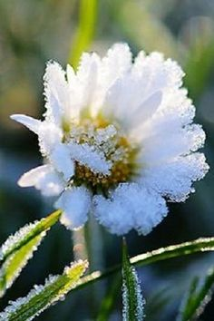 A daisy shouldn't have to deal with this . Daisy Love, Winter Magic, Winter Flowers, Snow And Ice, White Gardens, Winter Beauty, Types Of Flowers, Winter Garden, Nature Pictures