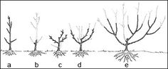 Pruning fruit trees—choose training system shapes for apple, peach & cherry trees (and more)
