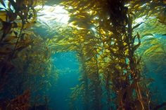 Low angle view of tall plants in underwater kelp forest