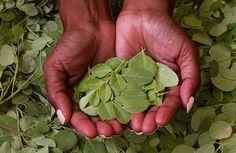 Conoce la Moringa: el árbol que puede alimentar al mundo y purificar el agua
