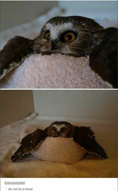 You've seen elf on the shelf, now get ready for. owl on a towel You've seen elf on the shelf, now get ready for. owl on a towel Funny Animal Memes, Cute Funny Animals, Funny Animal Pictures, Cute Baby Animals, Funny Cute, Animals And Pets, Cat Memes, Funny Owls, Hilarious