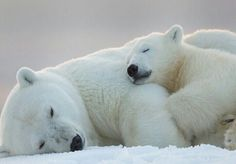 Polar bear and cub sleeping