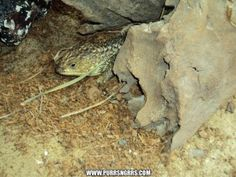 Shingle Back Lizard
