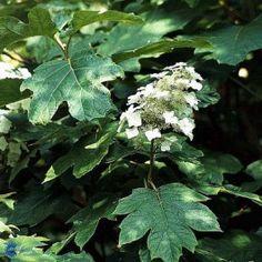 Egebladet hortensia (Hydrangea quercifolia) - C5,0 buske ·