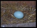 blue eggs from blue wheaton/arucana crosses