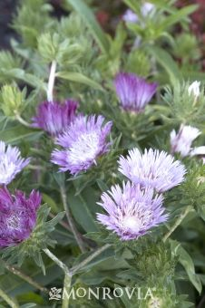 Monrovia's Color Wheel Stokes' Aster details and information. Learn more about Monrovia plants and best practices for best possible plant performance.