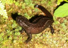 Researchers have discovered a new species of Vietnamese salamander that looks like it has emerged from an abyssal volcano.