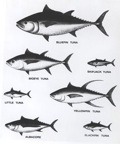 Located Near San Juan Royal, A tuna (also called tunny) is a saltwater fish that belongs to the tribe Thunnini, a subgrouping of the Scombridae (mackerel) family. The Thunnini comprise 15 species across five genera, Tuna Fishing, Fishing Lures, Fly Fishing, Atlantic Bluefin Tuna, Fish Chart, Yellowfin Tuna, Kunst Poster, Types Of Fish, Fishing Guide