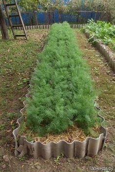 Укроп желанная зелень для нашего стола. Опытные садоводы и огородники его выращивают давно и знают свои секреты и правила ухода за огородной зеленью...