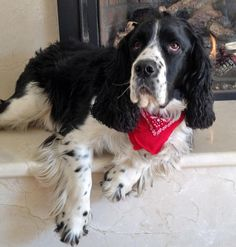 via the daily puppy  Dog Breed: English Springer Spaniel  Jackson is a happy and springy 4-year-old English Springer Spaniel. He enjoys swimming in the family pool, running with his owner, rolling in grass, and jumping in piles of snow. Most of all, Jackson loves being with his family and friends. He is known neighborhood wide for his tennis ball chasing skills!