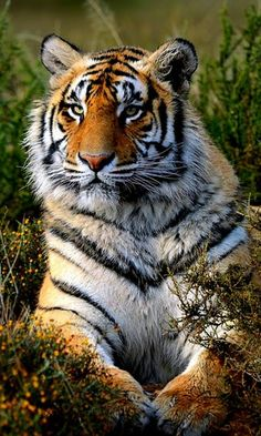 Tiger HD Wallpapers for Android Pretty Cats, Beautiful Cats, Animals Beautiful, Big Cats, Cool Cats, Cats And Kittens, Large Animals, Animals And Pets, Cute Animals