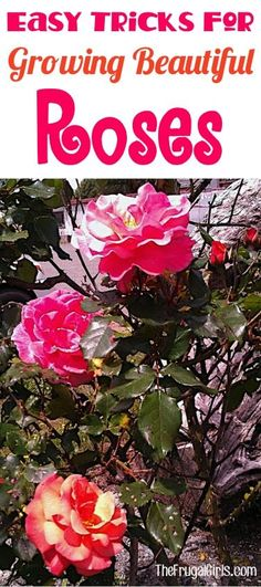 Growing Roses Tips! How to Grow your Best Roses this Year! Everything you need to know about Rose Gardening, including a HUGE list of tips and tricks that will yield the most beautiful blooms in yo… Urban Gardening Berlin, Comment Planter Des Roses, Decoration Shabby, Rose Garden Design, Rose Care, Tips And Tricks, Easy Tricks, Organic Roses, Planting Roses