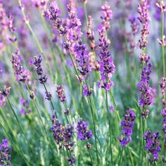 A beautifully ornamental herb, lavender bears fragrant foliage and flowers. The blooms typically appear in shades of violet and white and are wonderful for drying and using in sachets and other craft projects. Name: Lavandula varieties Growing conditions: Full sun and well-drained soil Height: 1-2 feet tall Zones: 5-8, depending on variety