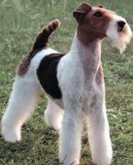 Wire Fox Terrier in formal mode.