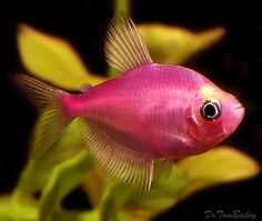 Strawberry Tetra Fish! Awe! A lil friend for my Abraham-a-fish... mmm-maybe...
