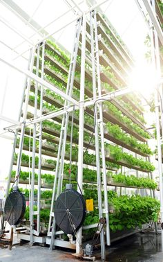 Troughs of bok choy stack up vertically at the 30-feet urban farm in Singapore. The veggies rotate along the A-frame to ensure they receive even light.