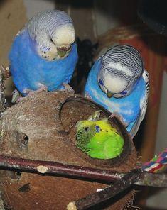 """ Spike, ""Ahhh, Leave me alone! "" Pretty Bird, ""Okay. Funny Birds, Cute Birds, Pretty Birds, Beautiful Birds, Animals Beautiful, Blue Parakeet, Budgie Parakeet, Budgies, Parrots"