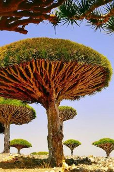 Dracaena cinnabari, Socotra dragon tree or dragon blood tree, endemic in Socotra island Dragon Blood Tree, Dragon Tree, Dracaena Cinnabari, Art Et Nature, Nature Tree, Weird Trees, Cs6 Photoshop, Unique Trees, Tree Trunks