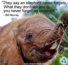 """BILL MURRAY QUOTE: """"They say an elephant never forgets. What they don't tell you is, you never forget an elephant. Elephant Quotes, Elephant Love, Elephant Art, Elephant Nursery, Elephant Stuff, All About Elephants, Elephants Never Forget, Save The Elephants, Baby Elephants"""